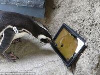 Jocuri pe iPad pentru... pinguini. Pinguinii de la gradina zoologica din California