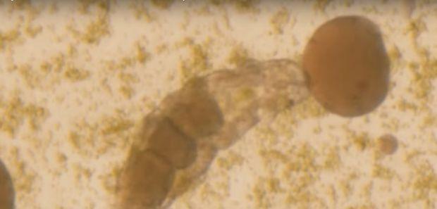 E inceputul unei noi ere? Cercetatorii japonezi au readus la viata un animal inghetat de 30 de ani