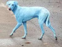 Fenomen ingrijorator! De ce au acesti caini maidanezi blana albastra