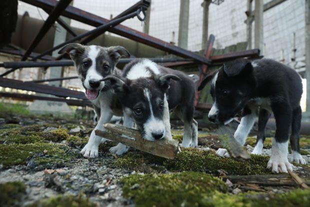 Detalii tulburatoare! Ce se intampla cu cainii maidanezi care traiesc in zona interzisa de la Cernobil