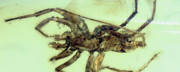 Un paianjen cu coada, descoperit intr-o bucata de chihlimbar de acum 100 milioane de ani
