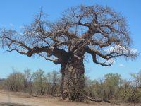 Cei mai batrani copaci din lume au inceput sa moara! Explicatia, descoperita cu ajutorul unor cercetatori romani