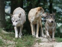 Pericolul uriaș pe care îl reprezintă lupii radioactivi de la Cernobîl. Concluzia unui studiu