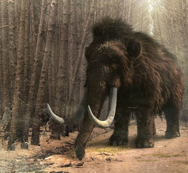 Rezultate spectaculoase obținute de cercetătorii care încearcă să cloneze un mamut